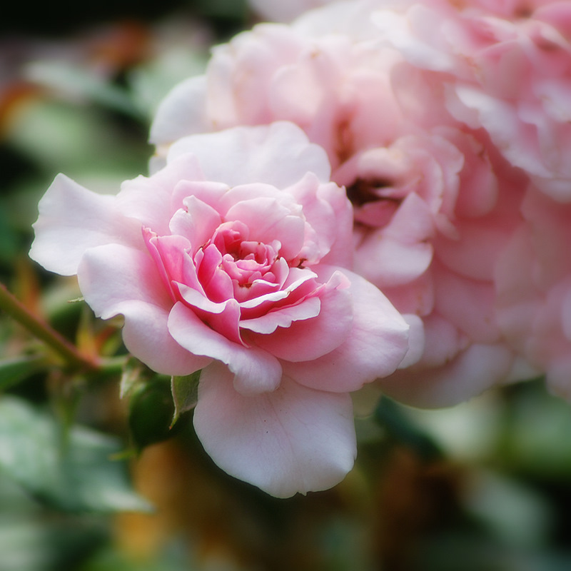 Flori de iunie, mai ales trandafiri (1/6)
