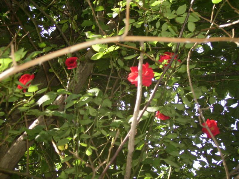 Flori de iunie, mai ales trandafiri (3/6)