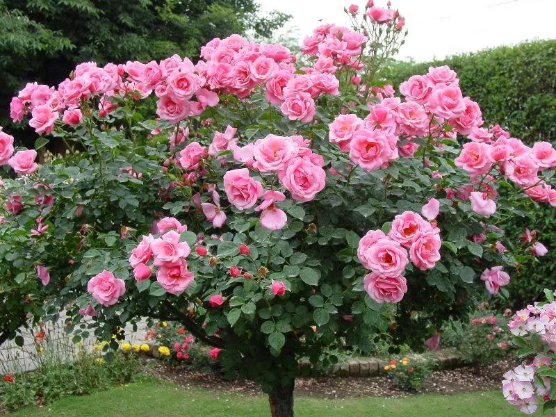 Flori de iunie, mai ales trandafiri (4/6)