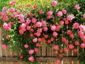 Flori de iunie, mai ales trandafiri (5/6)