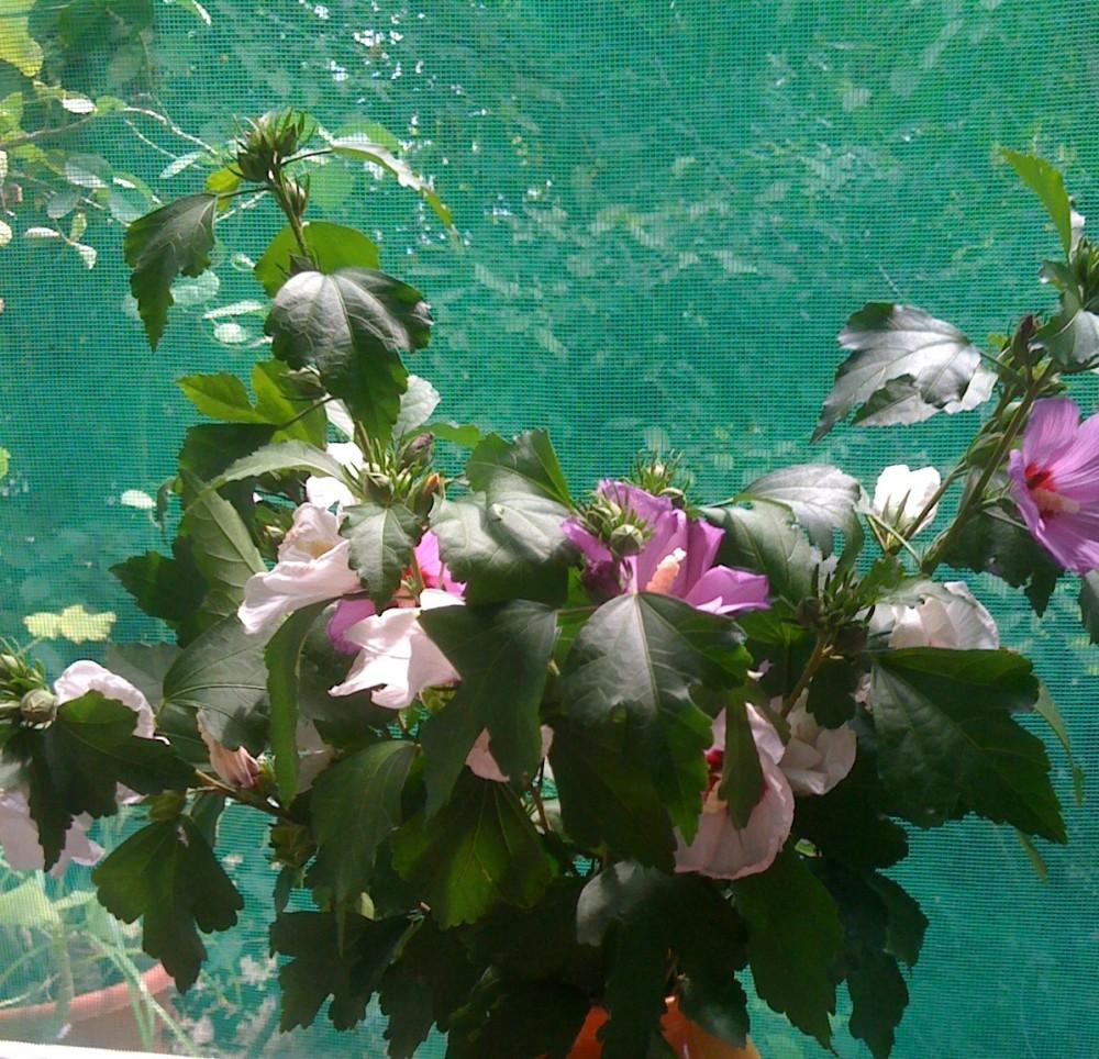 Flori de nalba din natura si in pictura (1/3)