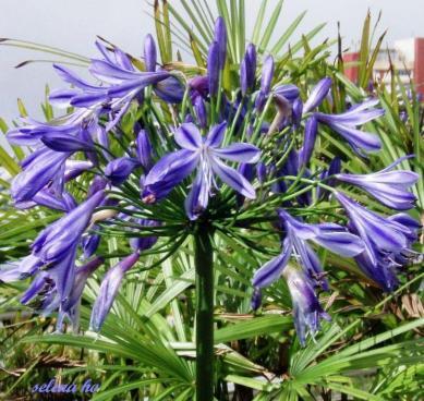 flori bleu1