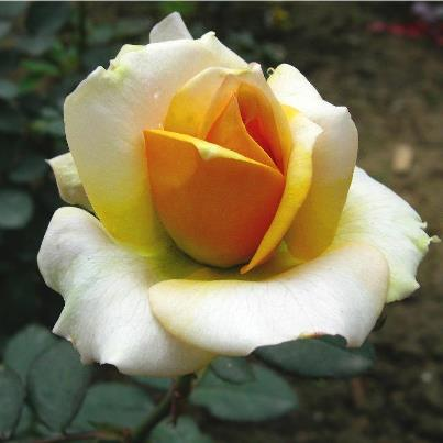 trandafir ian