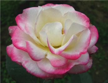 trandafir ian1