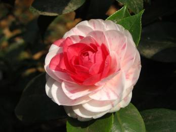 camelia roz