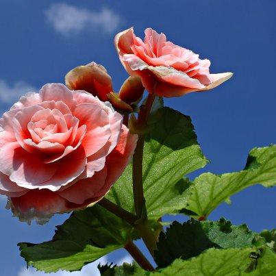 floare din china