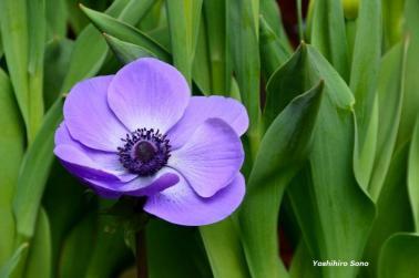 floare japonia