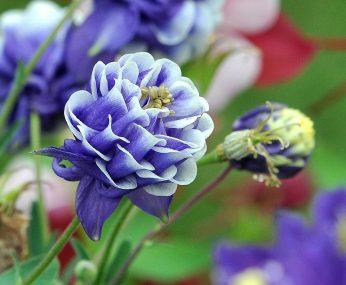 flori bleu gnt