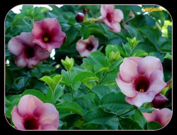 flori roz Lemy