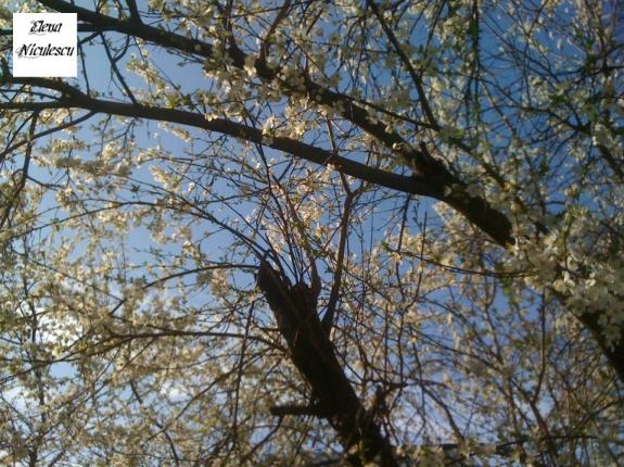 flori de corcodus pers