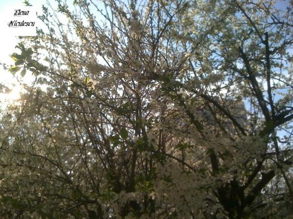 flori de corcodus1 pers
