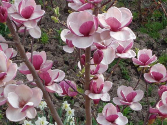 magnolii roz de pictat