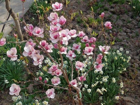 magnolii roz de pictat1