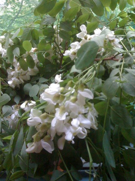 flori de salcam