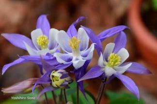 flori lila