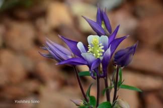 flori lila1