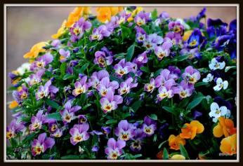 flori panselute