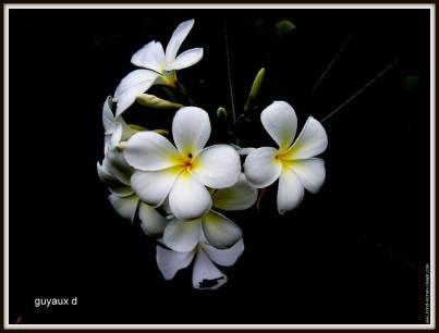 flori albe
