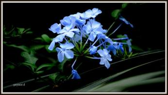 flori bleu