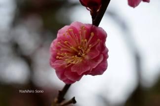 flori cerise