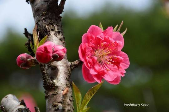 flori spring roz