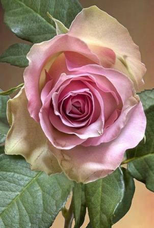 trand roz de pictat