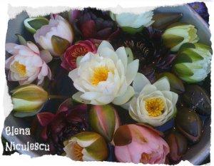 flori v nuferi pers