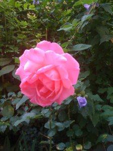 trand roz v