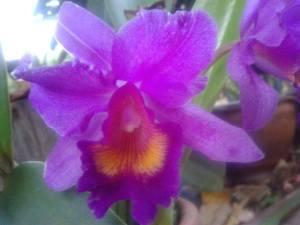 floare lila exotica