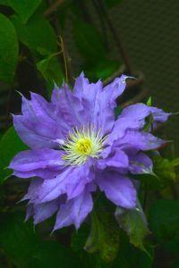 floare lila