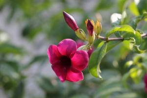 flori cyclam