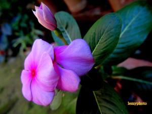 flori cyclam1