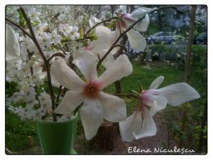magnolii stelate