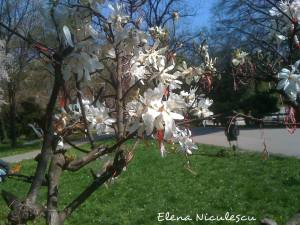 magnolia stelata Cismigiu