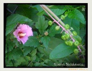 nalba roz