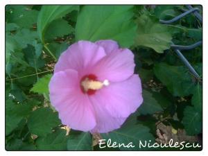 nalba roz13