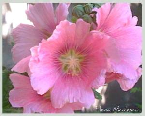 nalbe roz ff