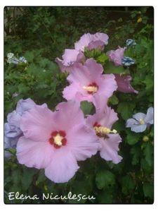 nalbe roz