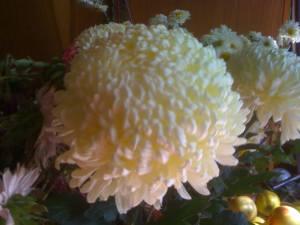 crizantema-alba-13