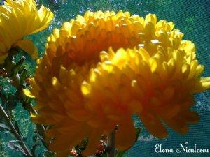 crizantema-galbena