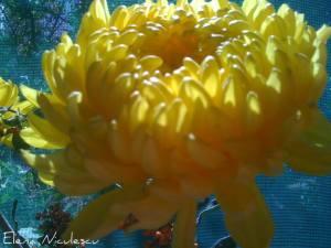 crizantema-galbena1