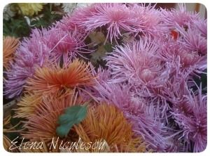 crizanteme-14