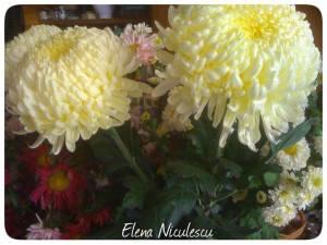 crizanteme-15