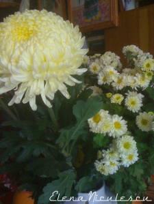 crizanteme-15a