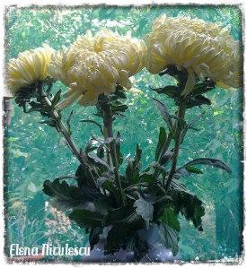 crizanteme-albe