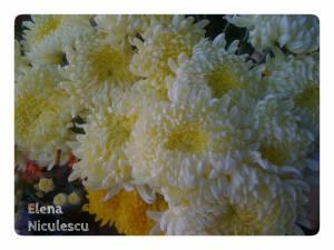 crizanteme-frumoase