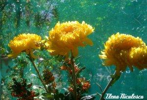 crizanteme-galbene