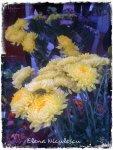 crizanteme-in-piata