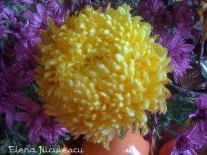 crizanteme13a