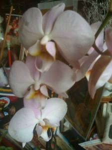 orhidee-14